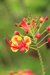 IMG_0470 (trevor.patt) Tags: palauubin singapore flower