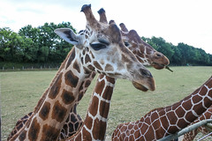 Zoo de Cerza (Brnys) Tags: zoo zoodecerza animaux animal france bassenormandie normandie calvados lisieux girafe giraffe