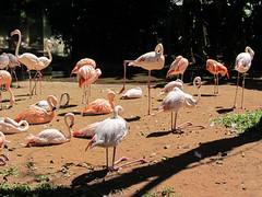 """Le Parc des Oiseaux d'Iguaçu: d'autres flamants roses acrobates. <a style=""""margin-left:10px; font-size:0.8em;"""" href=""""http://www.flickr.com/photos/127723101@N04/29642129815/"""" target=""""_blank"""">@flickr</a>"""