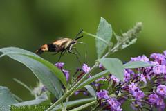 Snowberry... (dbifulco) Tags: hemarisdiffinis buddleia garden insect moth nature newjersey nikkor300f4pfed purpleflower snowberryclearwingmoth wildlife yard