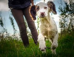 Its only me ! (TrevKerr) Tags: dog d7000 pup puppy springer springerspaniel nikon50mmf18 nikon