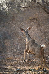 Kudu, South African Bush (Michelle Tuttle) Tags: southafrica africa wild animals wildanimals nature bush safari gamedrive kodu female femalekodu