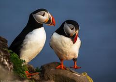 Puffin dance (Bill Bowman) Tags: puffin fraterculaarctica ltrabjargcliffs iceland sland