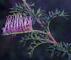 Grevillea acanthifolia x rivularis, Kings Park, Perth, WA, 16/08/16 (Russell Cumming) Tags: plant grevillea grevilleaacanthifoliaxrivularis proteaceae kingspark perth westernaustralia