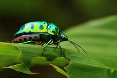 Jewel Bug (!! Michael Francis !!) Tags: jewelbeetle bug metallicbug nature naglablock
