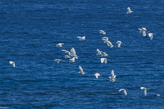 The egrets and the sea (Siminis) Tags: siminis heraklio crete greece egrets herons sea fly flying egrettagarzetta