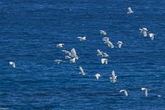 The egrets and the sea (Siminis) Tags: siminis heraklio crete greece egrets herons sea fly flying egrettagarzetta
