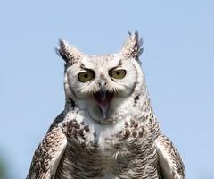 Gufo Virginiano (Superpaia) Tags: avifauna