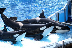 Killer Whales (Andy2982) Tags: orlando whale orca seaworld killerwhale blackfish toothedwhale orcawhale oneoceanshow oceanicdolphinfamily shamustadiumtheater