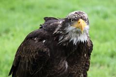 """Bald Eagle (FlyingV99) Tags: school bird hall flying suffolk eagle display country baldeagle fair owl falcon 2012 talons prey"""" """"birds heveningham """"english falconry"""""""