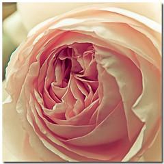 Macro's Rose (sergio.pereira.gonzalez) Tags: flower color colour macro fleur rose flor rosa couleur canon400d sergiopereiragonzalez httpfocale3fr