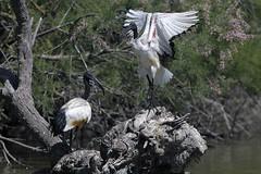 Camargue - Pont de Gau - Ibis sacr - African Sacred Ibis (BerColly) Tags: france birds spring google flickr paca printemps oiseaux camargue africansacredibis ibissacr bouchedurhone pontdegau bercolly