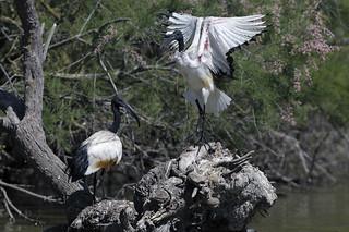 Camargue - Pont de Gau - Ibis sacré - African Sacred Ibis