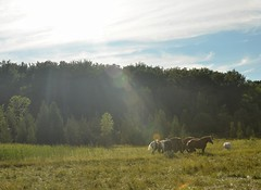 Horses and sunbeam (JohnCramerPhotography) Tags: horses sun glare sunbeam drafthorse