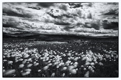 Summer Breeze (Wolfhorn) Tags: bw mountains nature alaska clouds landscape wilderness cottongrass blackwhitephotos