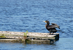 Cormorant (riggy-riggo) Tags: bird nature kent wildlife cormorant wetland stodmarsh
