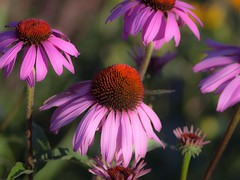 Early Morning Echinacea (Dennis_Dean) Tags: morning flowers light nature oregon echinacea
