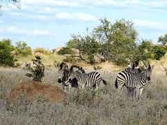 Lazy zebras (Piet Grobler) Tags: fuji zebra krugerpark quagga plainszebra burchellszebra equusquaggaburchellii
