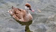 Nette rousse (Diegojack) Tags: eau lac oiseaux canards mfcc netterousse