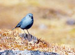 Blue bird of Andean happiness (LeelooDallas) Tags: mountain bird peru animal inca america landscape fuji hiking south dana trail planet andes alternative colca hs20 exr iwachow