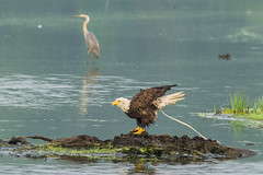 Poo Poo Bald Eagle (rickgetsemail) Tags: bird heron water grass birds wings nikon eagle baldeagle 500mm greatblueheron d3100