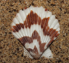 Tranquebar scallop (Volachlamys tranquebarica) (shadowshador) Tags: life sea shells beach sand wildlife sandy shell scallop biology animalia mollusca bivalvia invertebrate invertebrates scientific taxonomy classification tranquebar pectinidae eukaryota tranquebarica malacology conchology lophotrochozoa ostreoida opisthokonta pectinoidea pectinina pteriomorphia neomura holozoa filozoa chlamydinae volachlamys aequipectinini