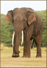 Tusker (Sara-D) Tags: nature animals forest asia wildlife sl lanka elephants srilanka ceylon lk aliya maximus tusk wildanimals southasia atha elephasmaximus tusker sarad serendib elephas elephasmaximusmaximus saranga wildelephants dealwis sarangadeva