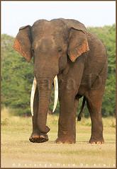Tusker (Sara-D) Tags: nature animals forest asia wildlife sl lanka elephants srilanka ceylon lk aliya maximus tusk wildanimals southasia atha elephasmaximus tusker sarad serendib elephas elephasmaximusmaximus saranga wildelephants dealwis sarangadeva