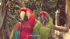 Guacamayas. (Barry Vargas) Tags: red green art birds animals zoo design photo guatemala pair jungle pajaros barry vargas jungla zoologico guacamayas