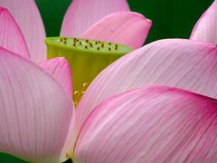 lotus (hamapenguin) Tags: pink summer flower nature lotus