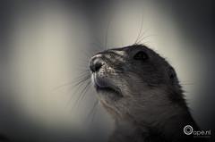 Instinct (Oape) Tags: light nature animal fauna nose zoo dof prairiedog dier emmen dierentuin
