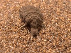 Ant-lion, Euroleon nostras,  larva, Minsmere,  Suffolk   DSC_5517 (Cladoniophile) Tags: antlion neuroptera myrmeleonidae
