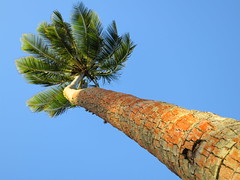 Reaching Away (Parsnippety) Tags: light sunset orange angle reaching coconut away palm bark tall cookislands rarotonga breeze