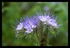Phacelia tanacetifolia (Annette Rumbelow) Tags: camera flowers nature sony a550 annetterumbelow lacockgardens