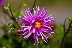Nice Pink dahlia (Valery Chernodedov) Tags: dahlia flowers summer russia siberia niceflower mimamorflowers ustilimsk me2youphotographylevel1