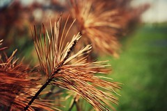 (the fragile.) Tags: macro tree nature pine dead dof bokeh needles
