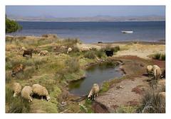 Seaboard arcadia (AurelioZen) Tags: europe greece aegean limnos moudros sheep informalpasture gulfofmoudros bucolic herd wetlands schaapskudde