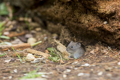 Bank Vole (Paul..A) Tags: bankvole bank vole