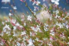 .....come farfalle (lefotodiannae) Tags: lefotodiannae fiori come farfalke