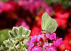 IMG_5771 (pappleany) Tags: schmetterling falter insekt tier sommer bunt natur butterfly outdoor
