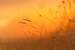 edge of the meadow early morning (Xtraphoto) Tags: meadow wiese wiesenrand sun sunlight sonnenlicht sonne licht light morning morgenlicht frh early orange gras grass bokeh