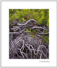 Twisted Pine (Joe Rainbow) Tags: landscape detail intimate roots tree pine 4x5 needles nature natural outdoors halkidiki greece