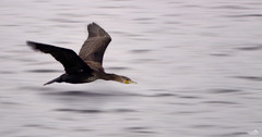 Shag in flight (Cormorant) (VandenBerge Photography) Tags: shag cormorant bird inflight water animal nature watersurface motion europe canon ef100mmf28lmacroisusm action balticsea poland pov nationalgeographic