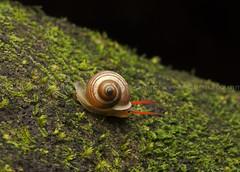 IMG_6887-0(W) Snail (Vince_Adam Photography) Tags: gastropoda mollusca animalia siput sibutbabi landsnails terrestrialpulmonategastropodmolluscs cengkerang shell slimy snail wildlife wildlifeofmalaysia wildlifeofborneo borneo cengerang slow