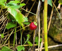 First wild strawberry seen in 2016 (m barraclough) Tags: red macro canon cornwall strawberry wild