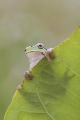Hyla intermedia (Gabriele Carabus Motta) Tags: raganella italica ila tree frog parco delle groane