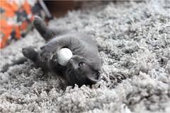IMG_2521 (murkla_la) Tags: cat russianblue moussie gray graycat