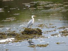 Grey Heron (southwell59) Tags: rnbcoquet heron greyheron wildlife river rivercoquet