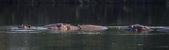 Sleepy Hippos (XNBZ) Tags: zambia zambezi africa zambeziriver