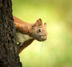 Peek-a-boo! (hedera.baltica) Tags: squirrel redsquirrel eurasianredsquirrel wiewirka wiewirkapospolita sciurusvulgaris